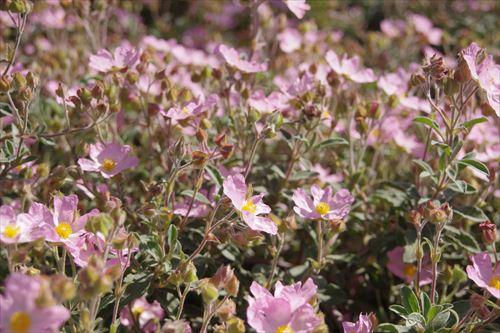 mini ピンクの花